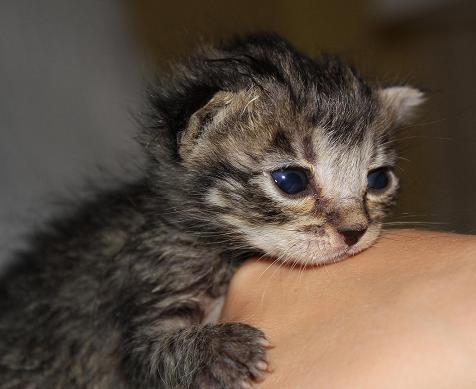 Les chattes stérilisées